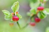 Borowka czarna (Vaccinium myrtillus)