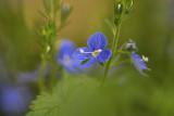 Przetacznik ozankowy (Veronica chamaedrys L.)