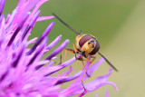 Bzyg prazkowany (Episyrphus balteatus)
