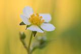Poziomka pospolita (Fragaria vesca L.)
