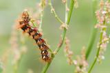 Wieczernica szczawiówka (Acronicta rumicis)