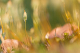 Płonnik pospolity (Polytrichum commune)