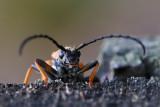 Zmorsznik czerwony (Stictoleptura rubra)