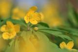 Zawilec żółty (Anemone ranunculoides L.)