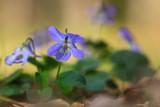 Fiołek (Viola sp.)