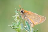 Karłątek (Thymelicus sp.)