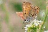 Czerwończyk płomieniec (Lycaena hippothoe)