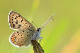 Czerwończyk uroczek (Lycaena tityrus)