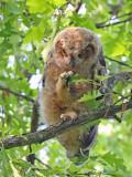 Owl and Oak