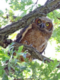 Owlet in the Middle