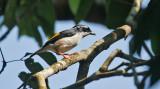 Blyth's Shrike Babbler