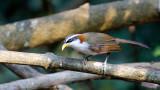 White-browed Scimitar Babbler