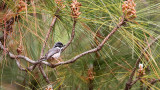 Grey-crowned Tit (Black-throated Bush Tit)