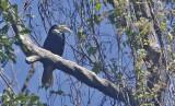 Papuan Hornbill, female