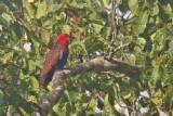 Eclectus Parrot, female