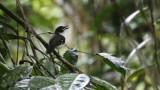Black-sided Robin