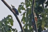 Rufous-bellied Kookabura
