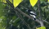 Hooded Butcherbird