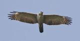 Mountain Hawk Eagle