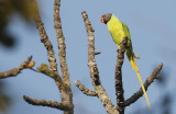 Grey-headed Parakeet