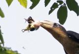 Rusty-cheeed Hornbill