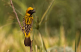 Asian Golden Weaver