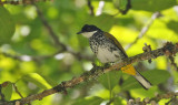 Scaly-breasted Bulbul