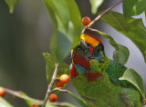 Red-throated Barbet, male