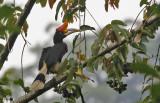 Rhinocerous Hornbill, fem