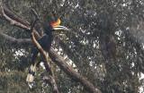 Rhinocerous Hornbill, male