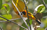 Golden Monarch, male