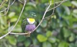 Geelvink Fruit Dove