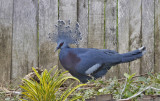 Northern Crowned Ground Pigeon