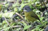 Green-backed Robin