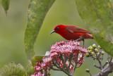 Red Myzomela
