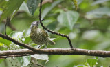 Spotted Honeyeater