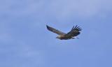 White-bellied Sea Eagle, immature
