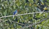 Biak Common Paradise Kingfisher