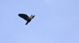 Pinon's Imperial Pigeon