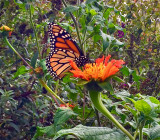 Butterfly Having Lunch