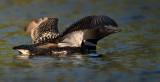 Plongeon huard