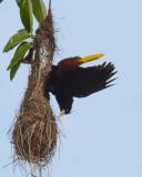Blackbirds and American Orioles
