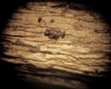 Pezicula houghtonii 001  x20 on dead attached twig of Prunus laurocerasus Carlton Wood NNotts 17-4-2016.JPG