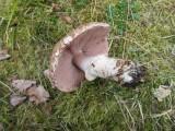 Agaricus campestris var. squamulosus 02 Thoresby Eastate Notts.JPG