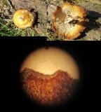 Pholiota arcularius   Woodsetts Pond nr Worksop  19-4-2018