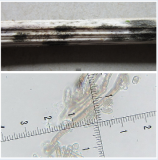 Dendrophiella infuscans  Shirebrook Wood, Sookholme  2-9-2018