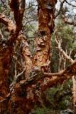 Queñual bark