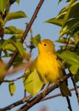 A-YELLOW-BIRD.jpg