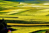 rapeseed_flowers_in_menyuan