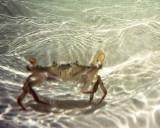 Crab Near Wreck